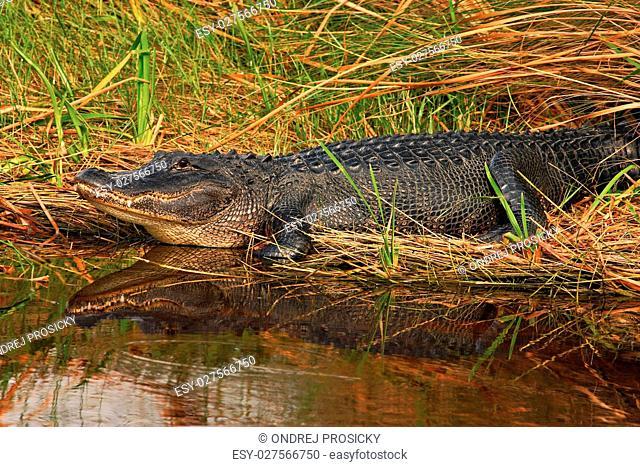 American Alligator, Alligator mississippiensis, NP Everglades, F