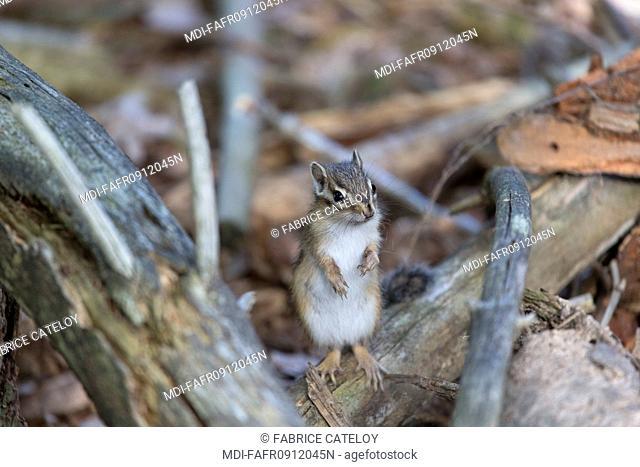 Nature - Fauna - Squirrel - Feral Siberian chipmunk in Senart Forest - France