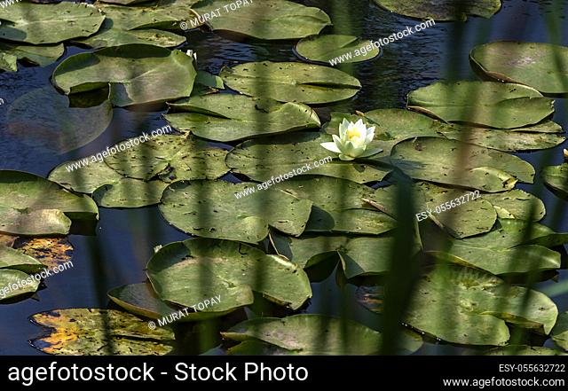 Acarlar longozu lotus flower Karasu, Sakarya, Turkey