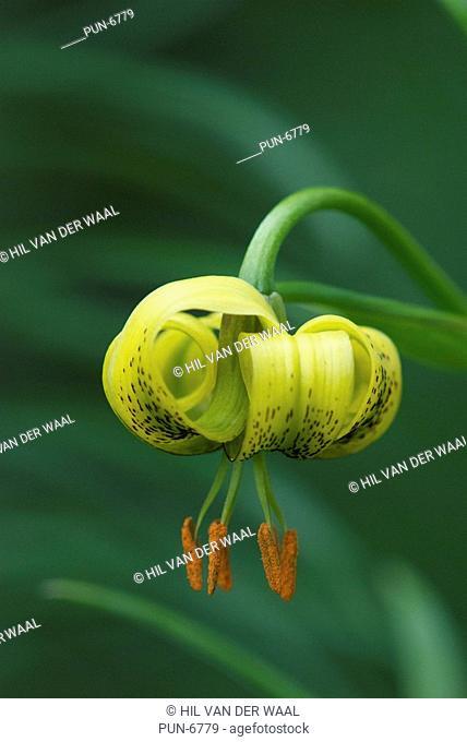 Yellow turk's-cap lily Lilium pyrenaicum