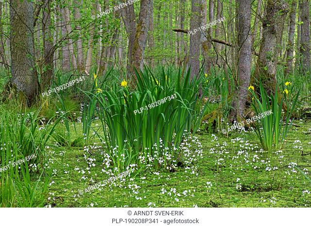 Alder carr showing black alder trees and aquatic plants like yellow flag (Iris pseudacorus) and water violet / featherfoil (Hottonia palustris)