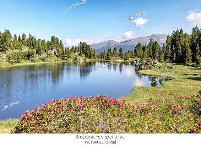 Europe, Italy, Trentino, Trento, Lagorai chain, the Colbricon lakes in summer with rhododendron flowering and mountain reflected on the water