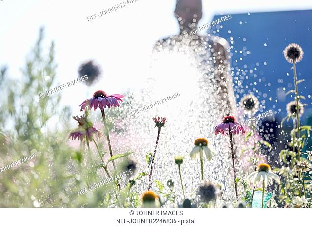 man watering flowers in garden