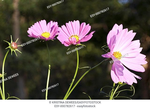 Pink Cosmos in the evening sun
