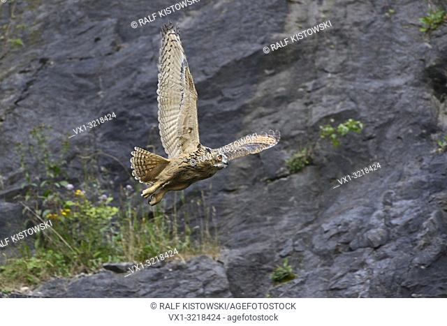 Wild majestic Eagle Owl / Europaeischer Uhu ( Bubo bubo ) taking off with attitude for is nocturnal hunting flight