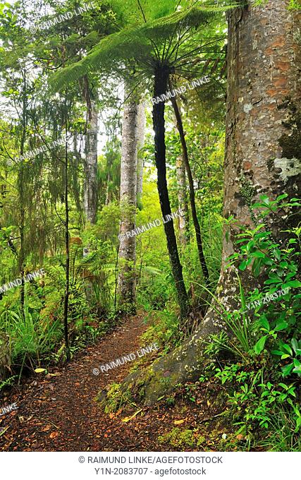 Forest Trail, Waipoua Kauri Forest, Temperate Rain Forest, Northland, North Island, New Zealand