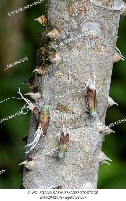 Wax-tailed Planthoppers (Pterodictya reticulate) on a trunk of a tree in the rain forest near La Selva Lodge near Coca, Ecuador