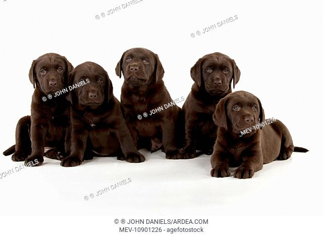 DOG - Chocolate labrador. puppies sitting in a row (7 weeks)
