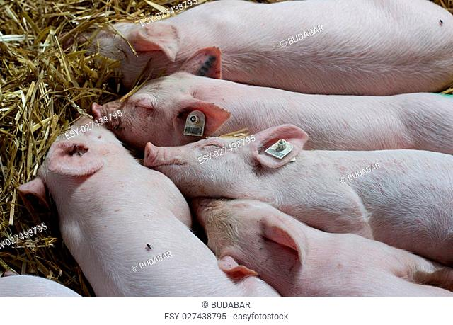 Top view of cute piglets sleeping on straw after suckling