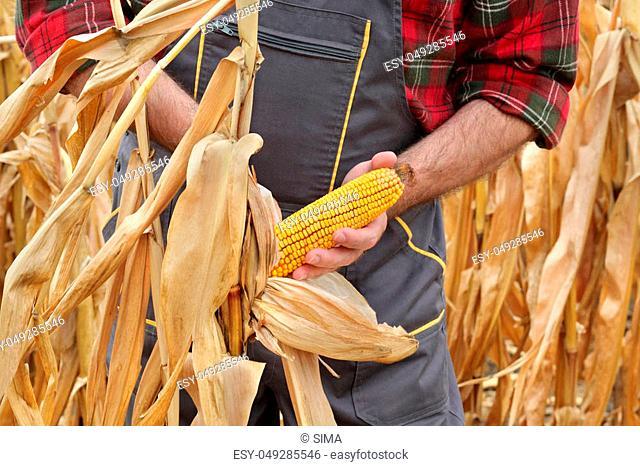 Farmer or agronomist examining corn plant in field, harvest time