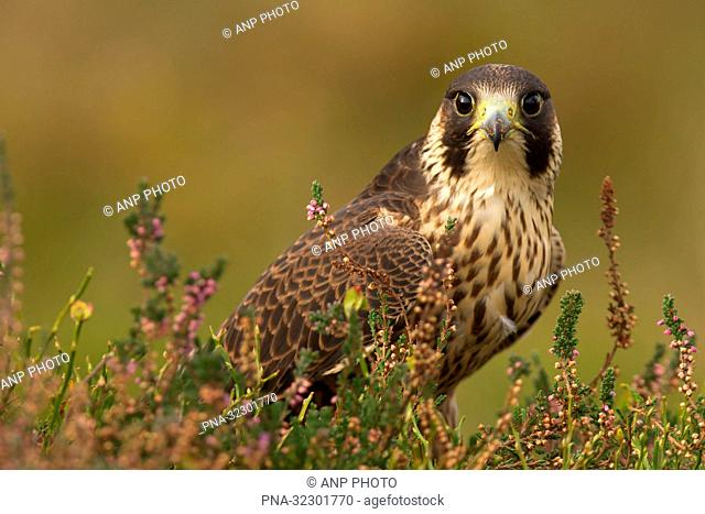 Peregrine Falcon (Falco peregrinus) - Bradgate park, Newtown Linford, Leicestershire, England, Great Britain, Europe