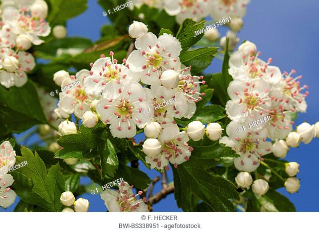 common hawthorn, singleseed hawthorn, English hawthorn (Crataegus monogyna), blooming, Germany