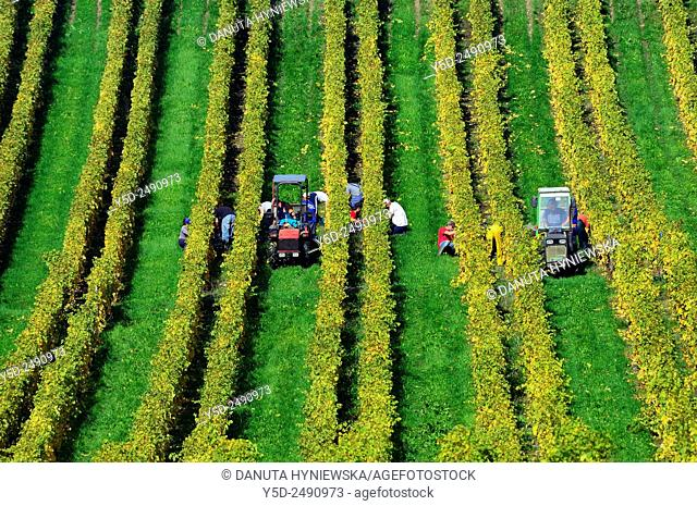Europe, Switzerland, Canton Vaud, Morges district, Féchy, grape harvest time