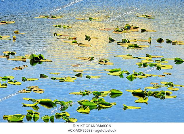 Water lilies in pond on the Stewart Cassiar Highway near Bob Quinn Lake British Columbia Canada