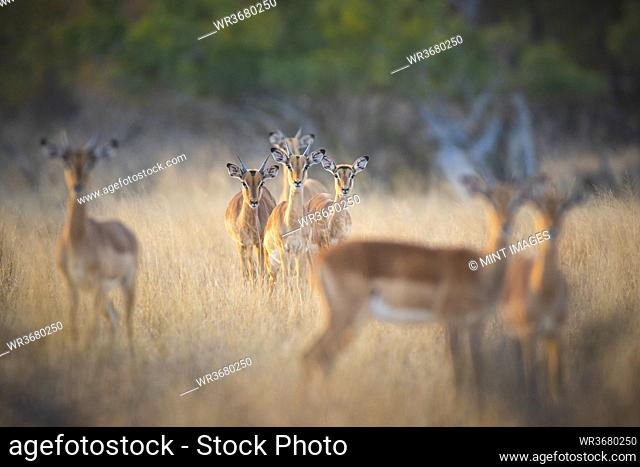 A herd of impalas, Aepyceros melampus, stand in dry yellow grass, direct gaze