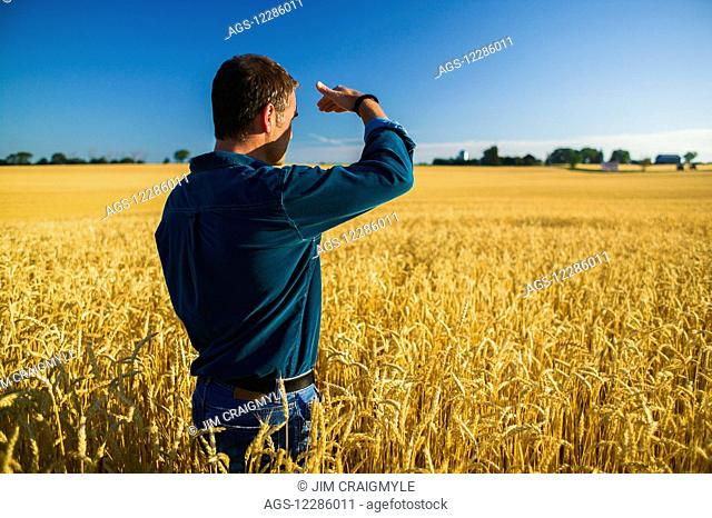 Farmer looking over wheat field; Bradford, Ontario, Canada