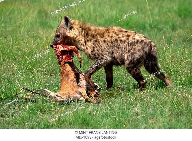Spotted hyena with gazelle kill, Crocuta crocuta, Masai Mara Reserve, Kenya