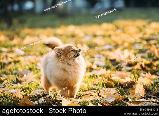 Young Red Puppy Pomeranian Spitz Puppy Dog Sniffing Air Outdoor In Autumn Park