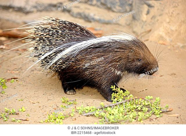 South African Porcupine (Hystrix africaeaustralis), foraging, South Africa, Africa