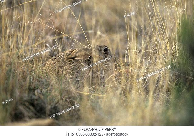 Scrub Hare Lepus saxatilis adult, laying with ears flattened to avoid detection, Karoo N P , South Africa