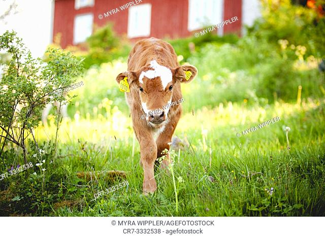 Young calf in greenlands