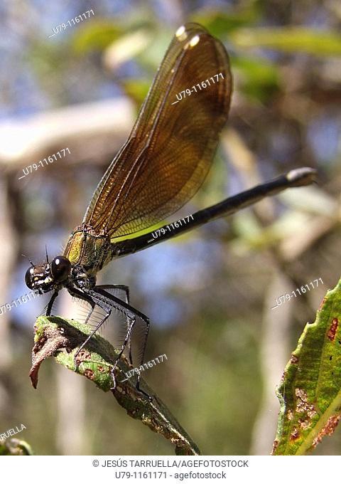Dragonfly. Hemimetabolous Odonata Zygoptera. Vinalopó. Bañeres de Mariola. Alicante. Valencia. Spain. Europe
