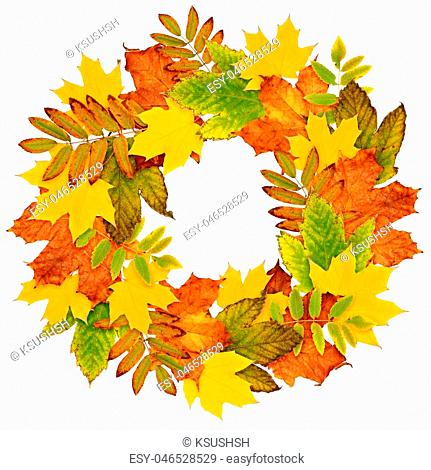 Autumn wreath from dry colored leaves isolated on white background. Flat lay