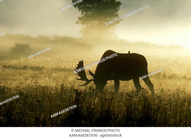 Moose (A. alces shirasi) Bull, early a.m. Fog off Lake Yellowstone NP, Wyoming