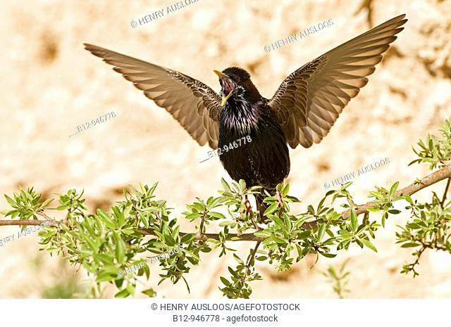 Starling (Sturnus vulgaris) singing