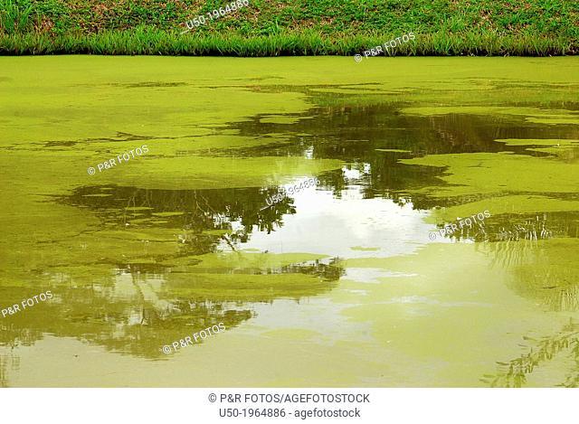 Green algae growth on fish pond