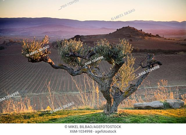 Olive Olea europaea  Rioja Alavesa County  Alava, Basque Country, Spain