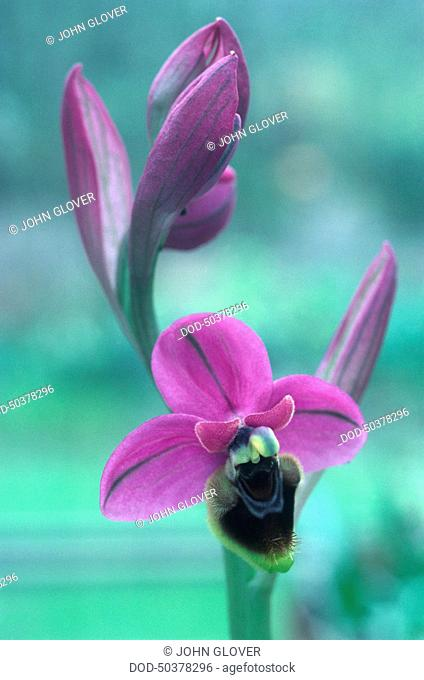 Purple flowers from Ophrys tenthredinifera, a type of orchid, close-up