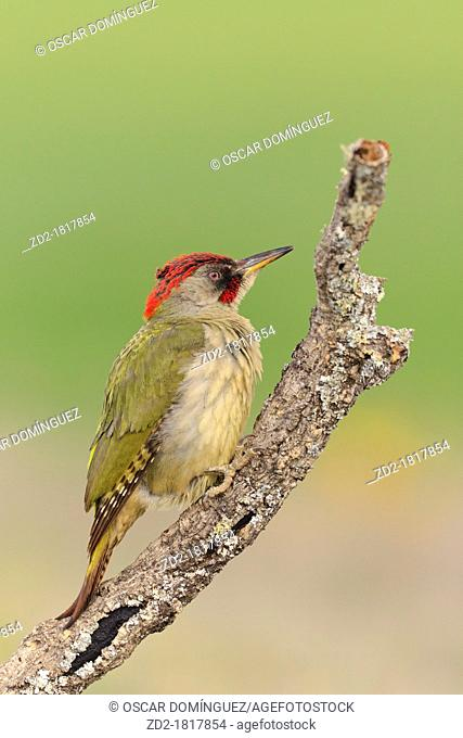 Green Woodpecker Picus viridis male perched on branch  Lleida  Catalonia  Spain