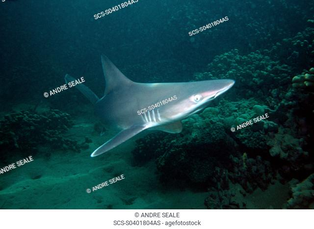 Sandbar shark pup Carcharhinus plumbeus Kaneohe Bay, Oahu, Hawaii N Pacific rr