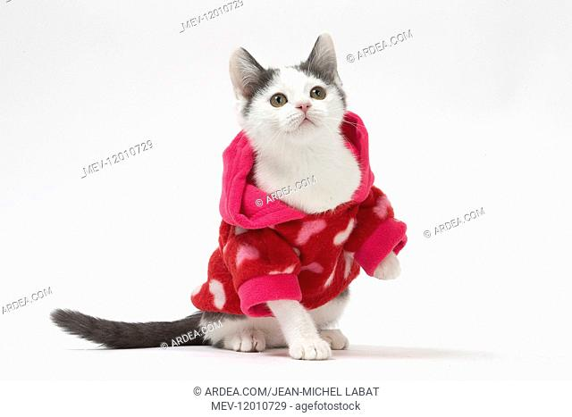 Munchkin cat wearing a pink hoodie in the studio