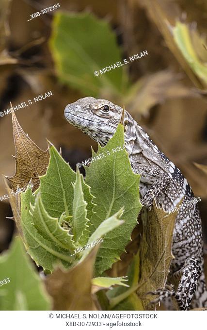 Juvenile San Esteban spiny-tailed iguana, Ctenosaura conspicuosa, Isla San Esteban, Baja California, Mexico