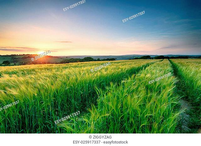 Stunning sunset over a field of barley moving in the breeze in the Cornish countryside