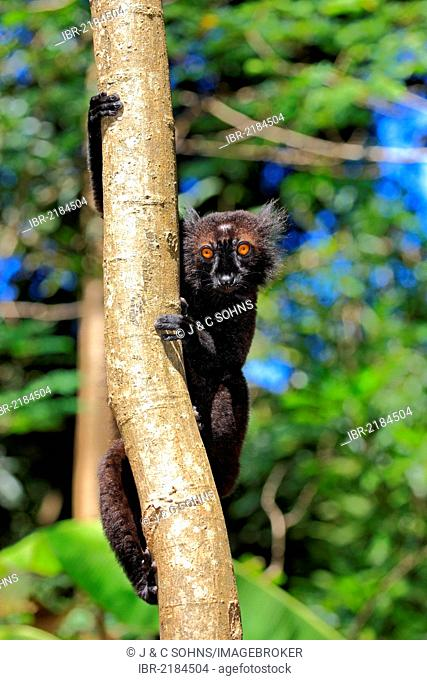 Black Lemur (Eulemur macaco), male adult in a tree, Nosy Komba, Madagascar, Africa
