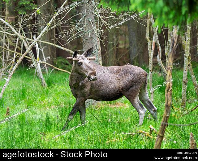 Moose or Elk (Alces alces). Enclosure in the National Park Bavarian Forest, Europe, Germany, Bavaria