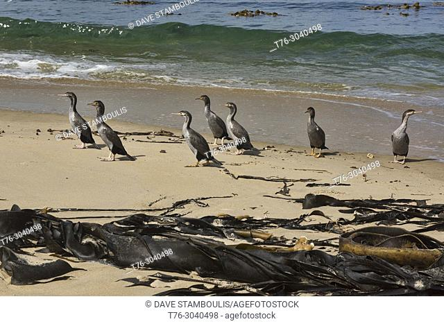Group of pied shag at Waipapa Point, The Catlins, Southland, New Zealand