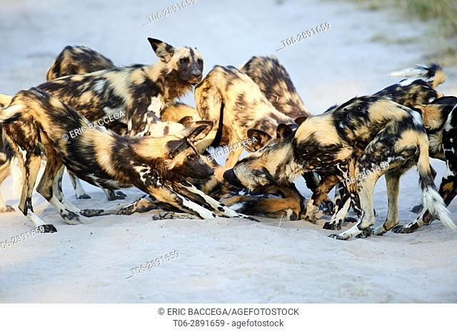 Pack of African wild dogs (Lycaon pictus) interacting, Okavango Delta, Moremi National Park, Botswana, Southern Africa