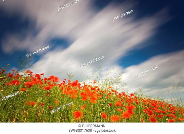Common poppy, Corn poppy, Red poppy (Papaver rhoeas), poppy in a field boundary of a rapefield in wind, Germany, Saxony
