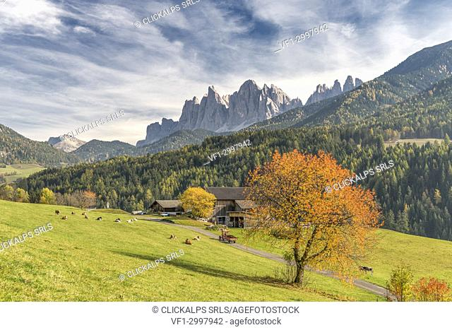 Funes Valley, Dolomites, province of Bolzano, South Tyrol, Italy. Autumn colors in the Funes Valley with the Odle peaks in the background