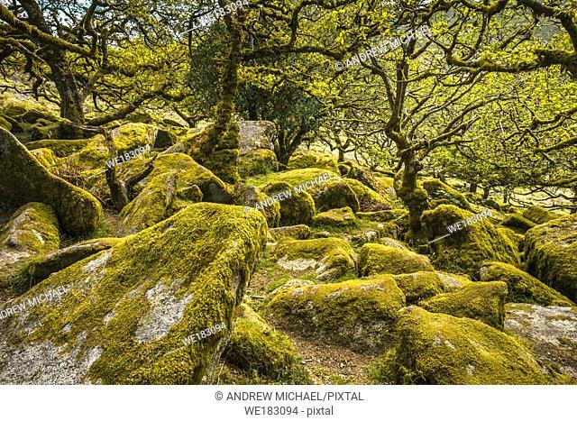Sessile oaks and moss in Wistman's Wood Dartmoor Devon England UK GB British Isles