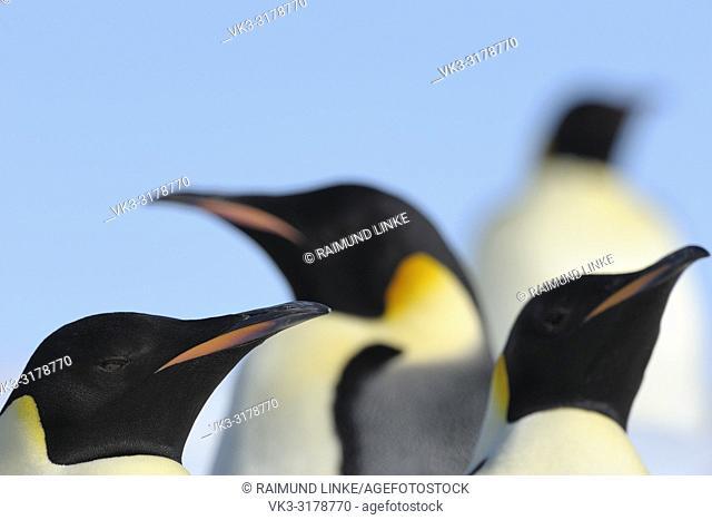 Emperor penguins, Aptenodytes forsteri, Adults, Portrait, Snow Hill Island, Antartic Peninsula, Antarctica