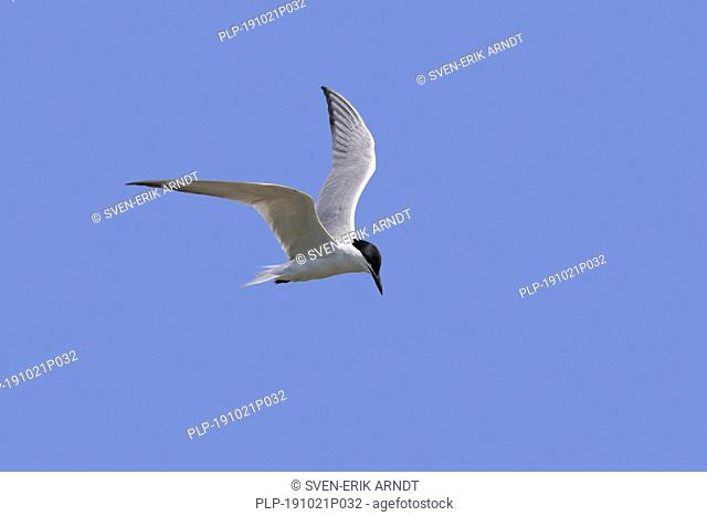 Gull-billed tern (Gelochelidon nilotica / Sterna nilotica) in flight hovering while hunting for fish against blue sky
