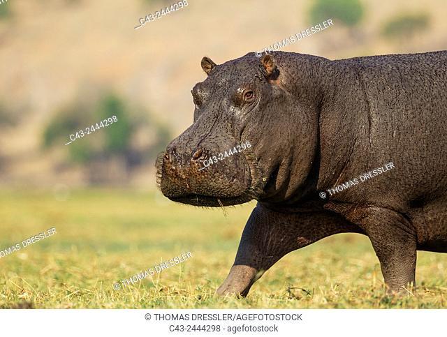 Hippopotamus (Hippopotamus amphibius) - Annoyed bull at the bank of the Chobe River. Photographed from a boat. Chobe National Park, Botswana