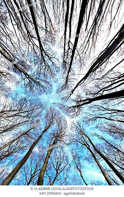 Treetops without foliage in the beech forest on the slopes of mountain Zaruby, Male Karpaty, Slovakia
