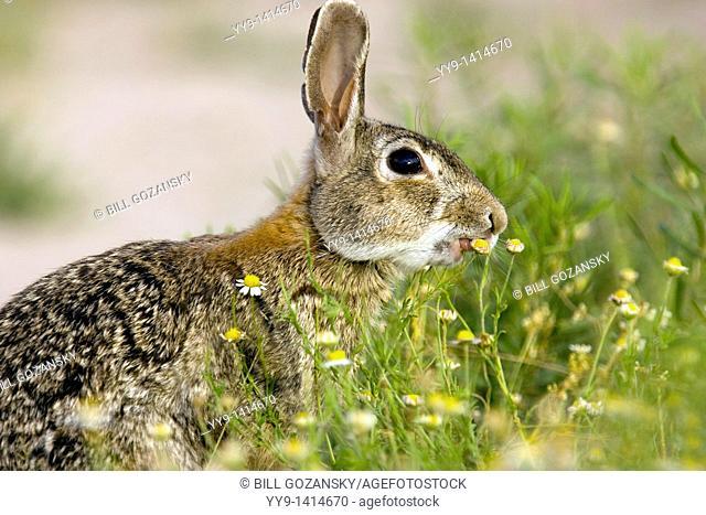 Eastern Cottontail Rabbit - Los Novios Ranch - near Cotulla, Texas USA
