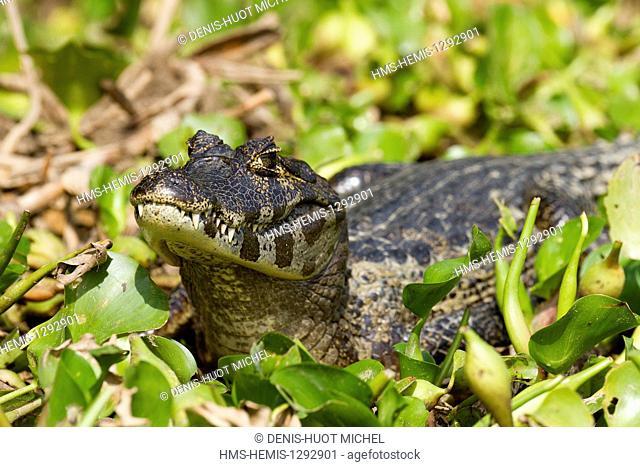 Brazil, Mato Grosso, Pantanal area, listed as World Heritage by UNESCO, Yacare caiman (Caiman yacare)